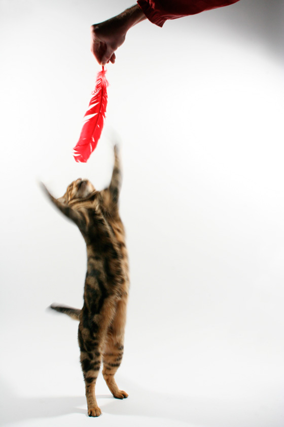 photograph of bengal cat on white BG batting red feather
