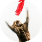 thumbnail image for Bengal cat with red feather photograph